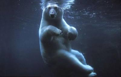 Фото белый медведь ловит рыбу